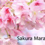 sakuraMarathon